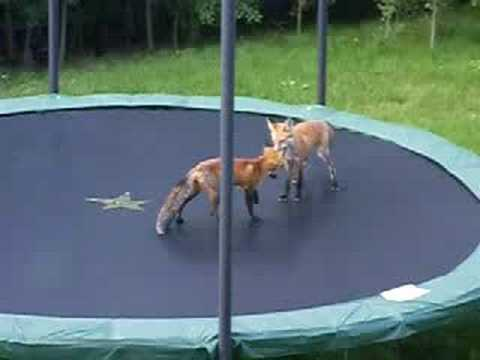Foxes Vs. Trampoline