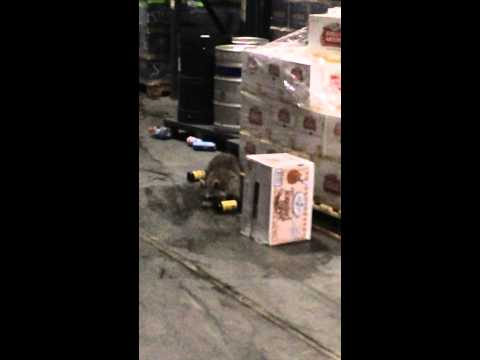Drunk Racoon In Beer Warehouse