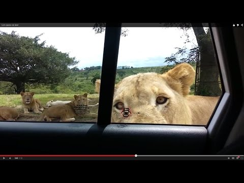 The Lion That Opens Car Doors